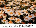 Oxeye Daisy  Leucanthemum...