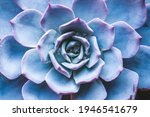 Small photo of Succulent Echeveria Morning Light. Evergreen succulent perennials or subshrubs with rosettes of colorful, rosette shaped flowers. Cacti indoor decorative plant. Botanical gardening background.