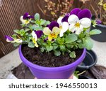 Purple Flower Pot With Spring...