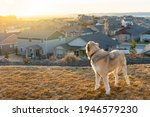 An Anatolian Shepherd Breed Dog ...