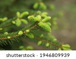 Small photo of blooming fir branch. Fir branches with fresh shoots in spring. Young growing fir tree sprouts on branch in spring forest. Spruce branches on a green background. fir branch with green buds