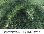 Dwarf Date Palm On The Nature