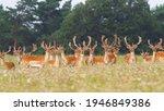 Bunch Of Fallow Deer Stags...