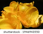 Small photo of Beautiful composition of Yellow Freesia Bulb flower, macro clo