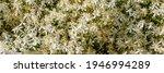 Many White Clematis Flammula...