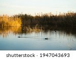 Two Ducks In A Large Lake Full...