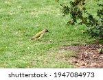 Green Woodpecker  Picus Viridis ...