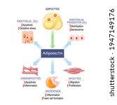 role of adiponectin. adipose... | Shutterstock .eps vector #1947149176