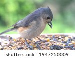 Tufted Titmouse Close Up...