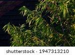 Melaleuca Cajuputi Plants With...