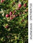 Small photo of Fresh gooseberries on a branch of gooseberry bush with sunlight. Gooseberry in the fruit garden.