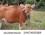Domesticated Cattle Ox Cow Bull ...