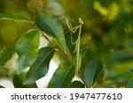Green Praying Mantis On A Leaf...