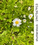 Small photo of Flowering of daisies. Oxeye daisy, Leucanthemum vulgare, Daisies, Dox-eye, Common daisy, Dog daisy, Moon daisy. Gardening concept. Blur background, Close up, Copy space for text