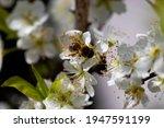 The Bee Pollinates The Plum...