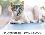 The Stray Or Feral Cat On The...