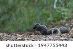 A Grey Squirrel Eats Nuts In...