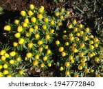 Yellow Alpine Flowers Early...