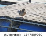 duck on the blue raft.   Shutterstock . vector #1947809080