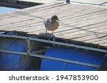 female duck on the raft.   Shutterstock . vector #1947853900