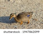 Duck Walks In Search Of Food
