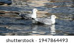 Pair Of Seagull Swimming. Two...