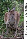 Mother Brown Kangaroo Posing...
