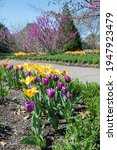 Purple And Yellow Tulips With...