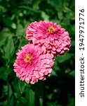 Bright pink zinnia flowers in...