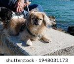 Aold  Pekingese Dog Looks To...