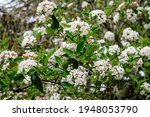 Shrub With Many Delicate White...