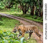 Majestic Tigers Of Bandipur...