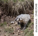 Small photo of Young American badger cub