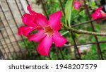 Small photo of red adenium flowers are unsightly