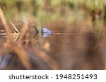 Blue Frog On The Surface Of A...