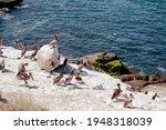 Pelicans Resting On Rocky Beach....