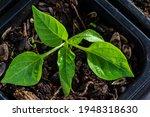 Capsicum Seedlings Grow In A...