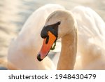 Mute Swan  Close Up Of The Swan'...