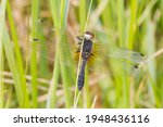 Lilypad whiteface darter Leucorrhinia caudalis drying the soft fragile wings taken from underside with black belly visible holding on straw