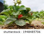 The Beginning Of The Strawberry ...
