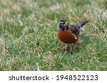 A Curious American Robin In...