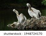 Two Dalmatian Pelicans ...