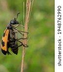 An Orange Beetle Is Active In...