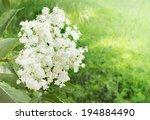 Elder Flower In Garden
