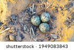 Spur Winged Lapwing Eggs. Latin ...