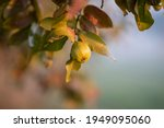 guava fruit tree in an organic...   Shutterstock . vector #1949095060