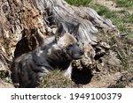 The Striped Hyena  Hyaena...