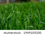 young wheat plants growing on...   Shutterstock . vector #1949105200