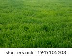 young wheat plants growing on...   Shutterstock . vector #1949105203