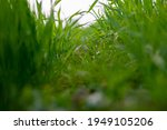 young wheat plants growing on...   Shutterstock . vector #1949105206